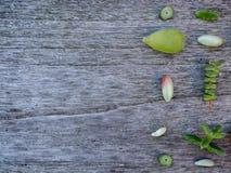 Variation av den åtskilliga gröna suckulenten lämnar klart att fortplantas fotografering för bildbyråer