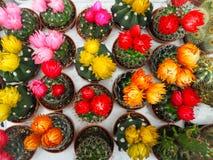 Variation av små echinopsiskaktusväxter med färgrika blommor arkivbilder