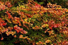 Wonderful Colour Variation in These Leaves, Crepe Myrtles Really put on a Show in Autumn. Variation of Colours in Fall is Quite Unbelievable. Wonderful Colour royalty free stock photo