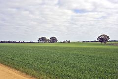 Variation of Green Wheat Plants Growing in a Paddock, with Fire break royalty free stock image