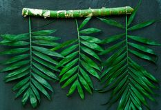 Variationer av tropiska palmblad på filial Idérika tropiska sidor på mörk bakgrund, kopieringsutrymme, closeup Fotografering för Bildbyråer