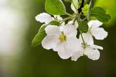 Variations of photos with beautiful and delicate flowers of the apple orchard, blooming spring garden stock images