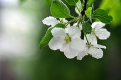 Variations of photos with beautiful and delicate flowers of the apple orchard, blooming spring garden stock photography