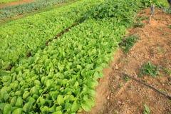 Variationsgrönsakväxter i tillväxt Royaltyfria Foton