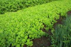 Variationsgrönsakväxter i tillväxt Arkivfoto