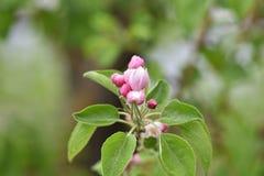 Variazioni delle foto con i bei e fiori delicati del meleto, giardino di fioritura della molla fotografia stock libera da diritti
