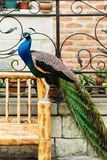 Varicolored peacock bird. Royalty Free Stock Images