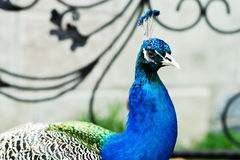 Varicolored peacock bird. Royalty Free Stock Photos