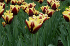 Varicolored tulip flowers field Stock Photos