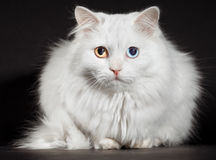 Varicoloured eyes white cat Stock Image