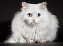 Free Varicoloured Eyes White Cat Stock Image - 14184611