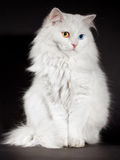 Varicoloured eyes white cat Stock Photo