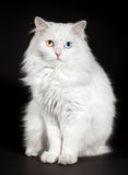 Varicoloured eyes white cat Royalty Free Stock Images