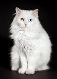Varicoloured eyes white cat Royalty Free Stock Images