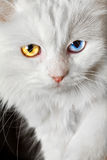 Varicoloured eyes white cat Royalty Free Stock Photos