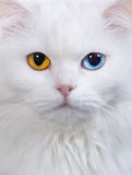 Varicoloured eyes white cat Stock Photography