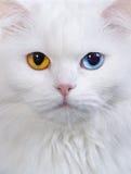 Varicoloured eyes white cat Stock Photography
