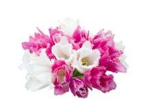Varicoloured fringed tulip Royalty Free Stock Photos