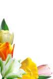 Varicoloured tulips Stock Photos