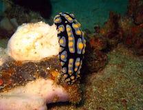 Varicose Wart Slug Royalty Free Stock Photography
