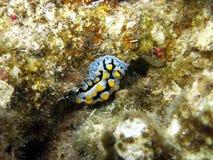Varicose Wart Slug (Phyllidia Varicosa). Fiji Royalty Free Stock Photos
