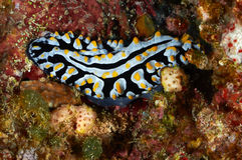 Varicose wart slug. (Phyllidia varicosa) Red Sea, Egypt Royalty Free Stock Photos