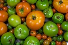 Varie fasi dei pomodori di maturazione Fotografia Stock