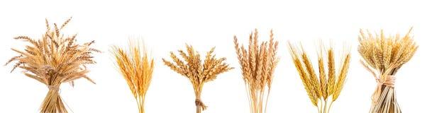Varie orecchie del grano isolate su fondo bianco Immagini Stock