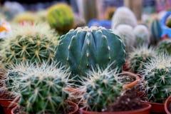 Varie piante del cactus, fuoco selettivo Fotografia Stock Libera da Diritti