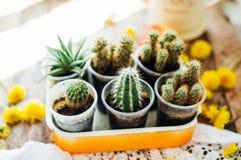 Varie piante del cactus, fuoco selettivo Cactus e succulenti co Fotografia Stock Libera da Diritti
