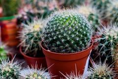 Varie piante del cactus, piante da appartamento decorative Fotografie Stock