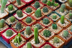 Varie piante/gruppo del cactus di piccolo cactus nel vaso Immagine Stock
