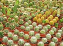 Varie specie di cactus come sviluppate in una scuola materna commerciale immagini stock