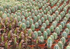Varie specie di cactus come sviluppate in una scuola materna commerciale fotografia stock libera da diritti