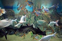 Varie specie di pesci esotici che nuotano insieme in acquario Fotografia Stock