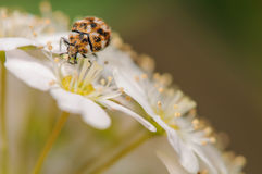 Varied Carpet Beetle. On a Bed on White Flowers Stock Photography