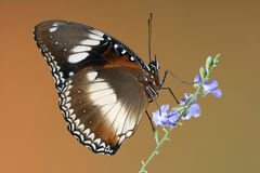 Varied or Common Eggfly Butterfly. Common Eggfly Butterfly with closed wings on blue flower Royalty Free Stock Photography