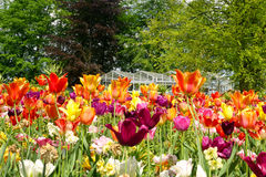Varied display of tulips. Mass of tulips, one of the many colorful displays of spring time bulb flowers in the world famous Keukenhof garden park in the stock image
