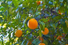 Varied oranges on a tree. Different oranges among the leaves of a tree in the mountain, very green and colorful, lots of nature and saturation of color Royalty Free Stock Image
