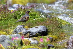 Varied Thrush near an Alpine Stream Royalty Free Stock Images