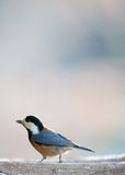 Varied tit on the bird feeder Stock Photography