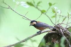 Varied tit on the branch of tree Royalty Free Stock Image
