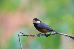 Varied tit on the branch of tree Royalty Free Stock Photography