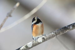 Varied tit Stock Images