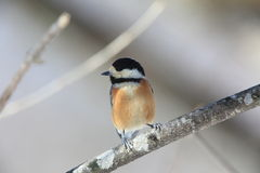 Varied tit Royalty Free Stock Images