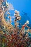 Variedad de filón coralino colorido con el zambullidor de equipo de submarinismo. Fotografía de archivo