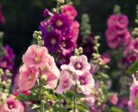 Variedad de flores de la malva en el macizo de flores Fotografía de archivo libre de regalías