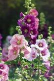 Variedad de flores de la malva en el macizo de flores Imagen de archivo