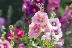 Variedad de flores de la malva en el macizo de flores Fotos de archivo