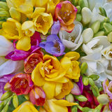Variedad de fresias coloridas Fotos de archivo
